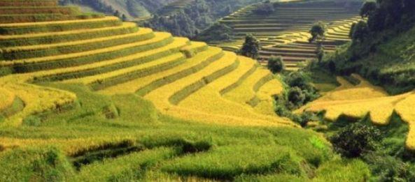 Rizeres en gradins du Nord Ouest Vietnam
