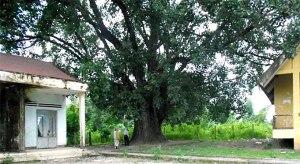 arbre-patrimonial-du-viet-nam